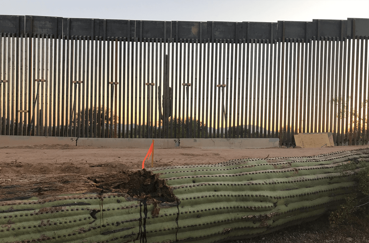 damaged cactus lying on the ground in front of the border wall