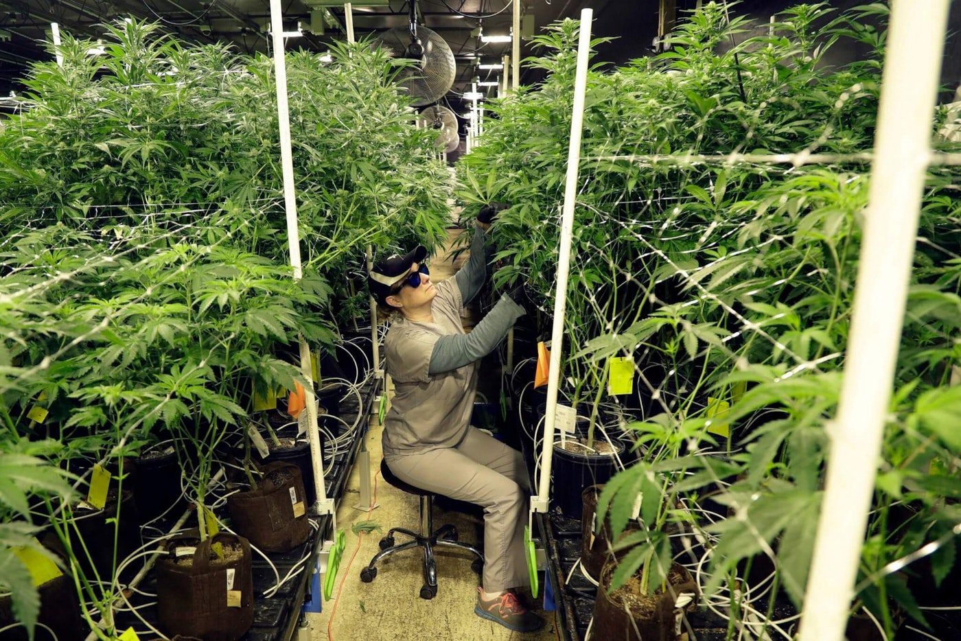 An employee at a medical marijuana dispensary, trims leaves off marijuana plants in the company's grow house. (AP Photo/Julio Cortez, File)