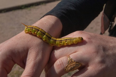 a large yellow-green caterpillar perched on top of two hands