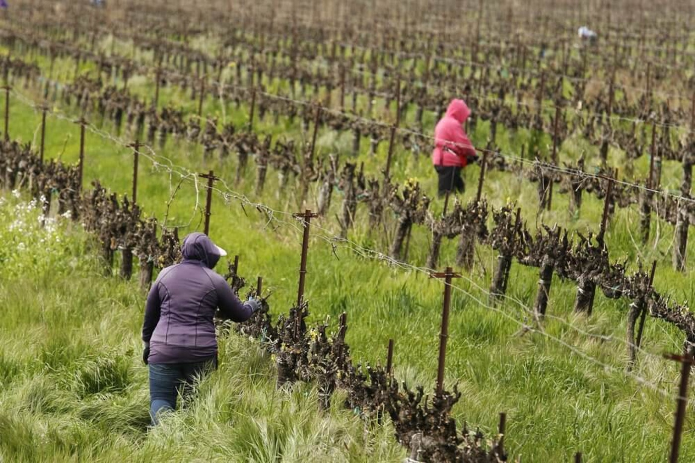 In this March 24, 2020, photo, farmworkers keep their distance from each other as they work at the Heringer Estates Family Vineyards and Winery in Clarksburg, Calif. Farms continue to operate as essential businesses that supply food to California and much of the country as schools, restaurants and stores shutter over the coronavirus. But some workers are anxious about the virus spreading among them and their families. Steve Heringer, general manager of the 152-year-old family owned business said workers now have more hand sanitizer and already use their own gloves for field work. (AP Photo/Rich Pedroncelli)