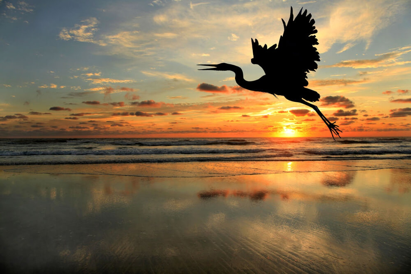 The blue heron takes flight at sunset in North Carolina. (Image via Shutterstock)