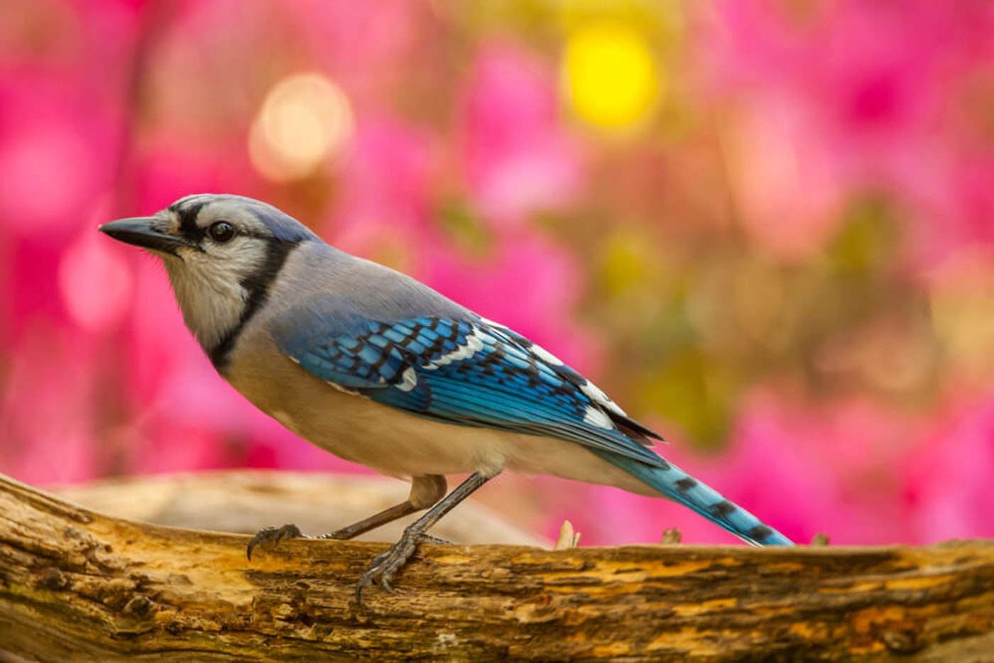 """A blue jay gives us a gorgeous view in Guilford County. A """"mysterious disease"""" impacting songbirds across the U.S. appears to have missed our feathered friends in North Carolina. (Image via Shutterstock)"""