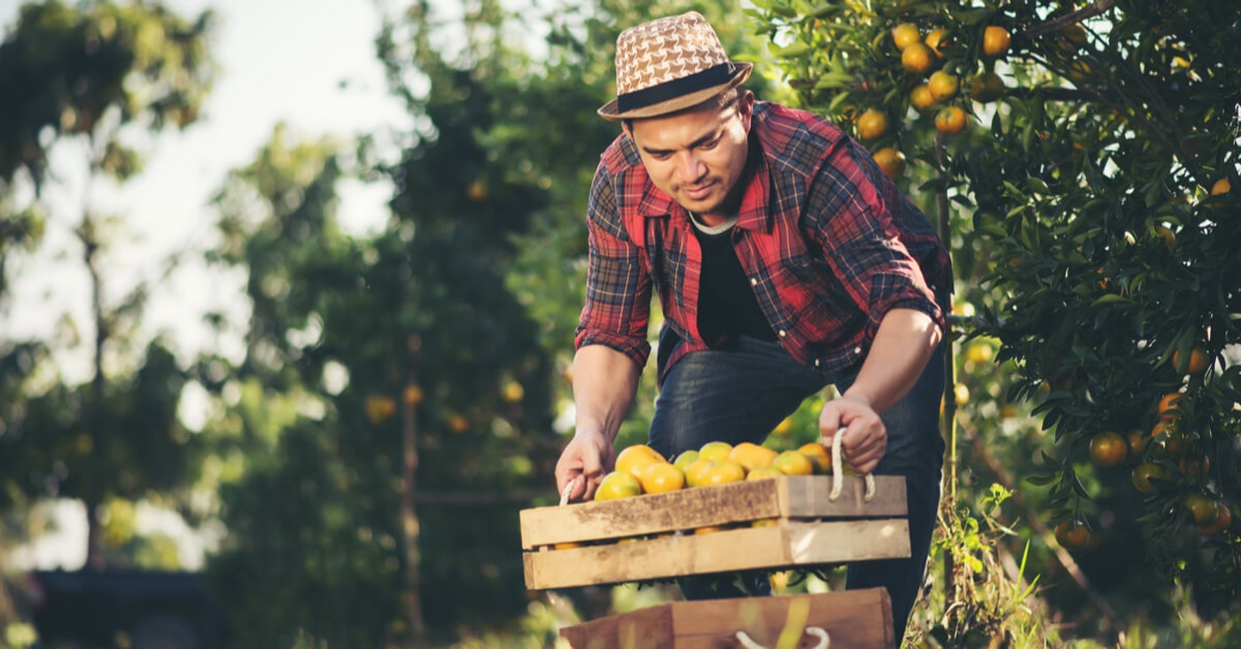Florida worker picking oranges