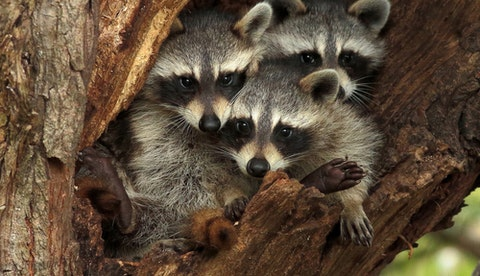 Raccoons Cause Problems in Arlington
