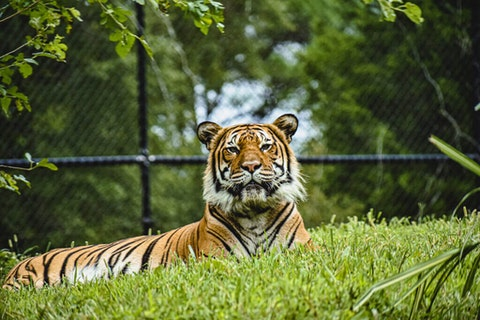 Christopher, a Malayan tiger at the Virginia Zoo. Photo courtesy of Virginia Zoo