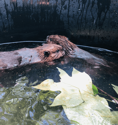 Contributed photo - By the time the beaver kits enter the wild, their rehabilitation bill will cash in at around $15,000.