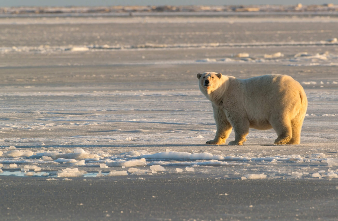 Polar bear in Arctic National Wildlife Refuge