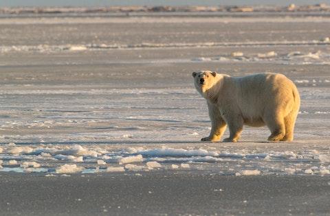Polar bear in Arctic National Wildlife Refuge