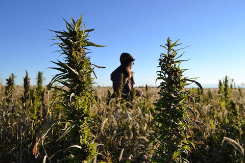 Wisconsin is shifting hemp oversight to the federal government, a move growers say will help cut down on red tape for the burgeoning industry here. (AP Photo/P. Solomon Banda)