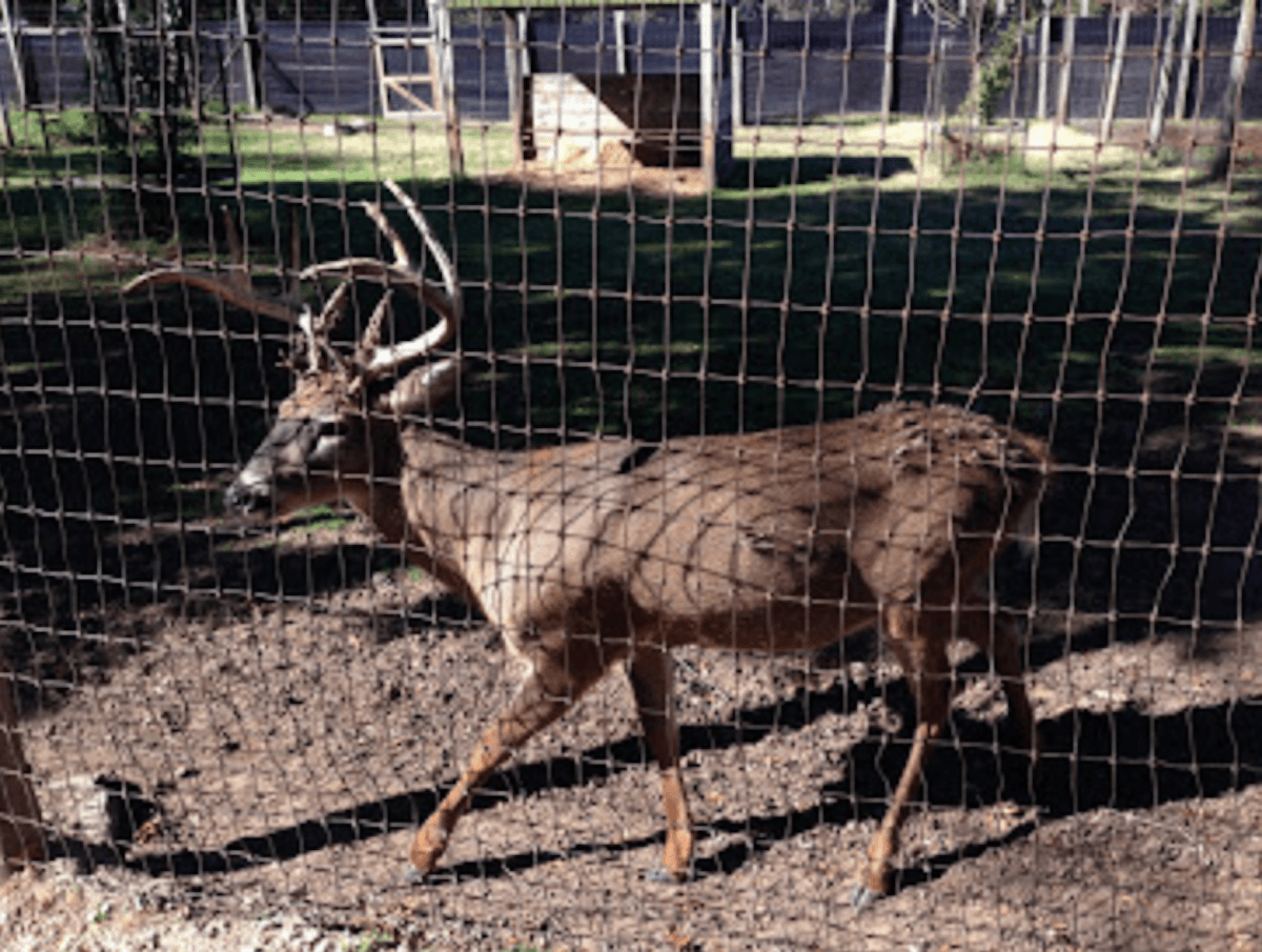 A confined deer in one of Wisconsin's wildlife education centers. The state also has 338 hunting ranches and registered deer farms. (Contributed photo)