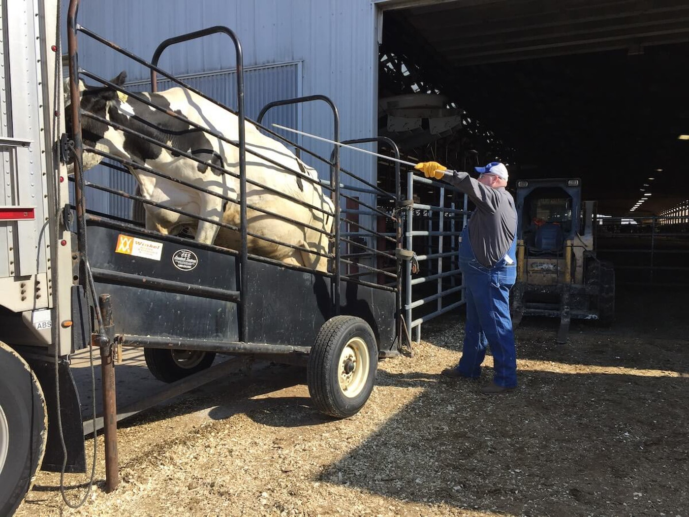 A worker prods a cow up a ramp and into a semi-truck trailer Monday at Paul Adams' farm. Most of the 600-plus cows in his dairy herd were shipped to a large dairy farm in Texas. (Photo by Julian Emerson)