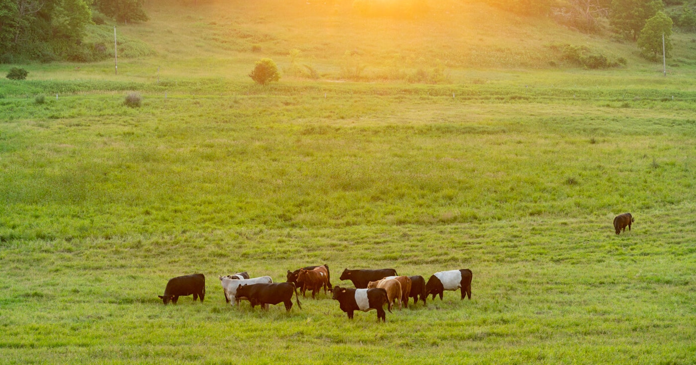 Cows graze at a farm near Blanchardville.  (Photo © Andy Manis)