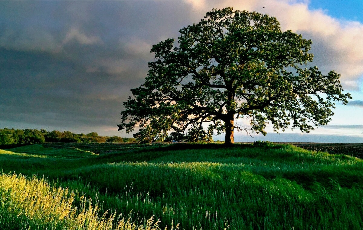 """'That Tree"""" was made famous by photographer Mark Hirsch. (Photo by Mark Hirsch)"""