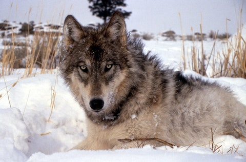 UW-Madison researchers estimate that hunters and poachers wiped out as much as a third of Wisconsin's gray wolf population after their removal from the federal endangered species list this year. (Photo via National Parks Service)