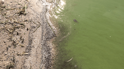Harmful blue-green algae blooms, like this one seen on Lake Monona in Madison, are becoming more frequent along Lake Superior as climate change continues to make conditions right for the species to bloom. (Photo by JT Cestkowski)