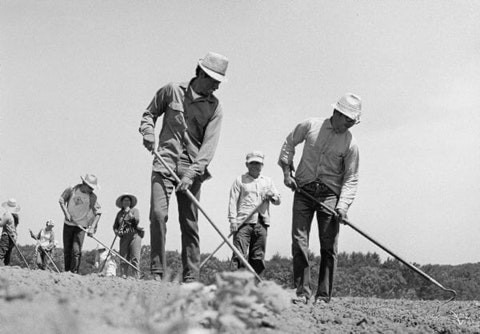 The post-war economic boom of the 1950s and 60s sharply increased Wisconsin crop production. In this photo from the Wisconsin Historical Society, Latino farm workers hoe a cucumber field near Wautoma in 1967.
