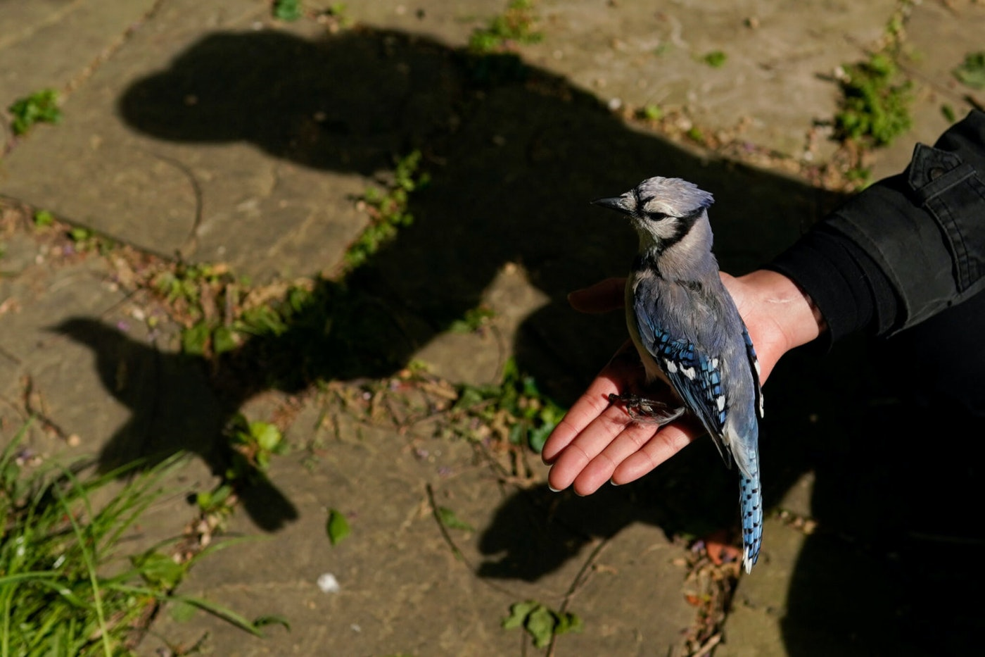 A university graduate student holds a female blue jay in her open hand to release it in Silver Spring, Md., after removing it from a mist net used to capture birds for banding or other research projects. A mysterious ailment has sickened and killed thousands of songbirds in several mid-Atlantic states since late spring. (AP File Photo/Carolyn Kaster)