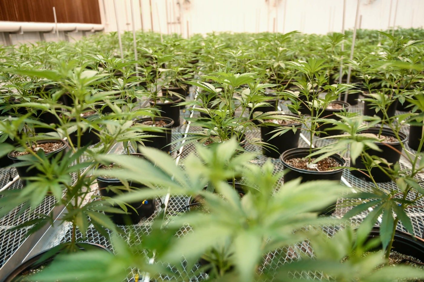 FILE: Berks Country Pharmacann makes medical marijuana products.  (Photo By MediaNews Group/Reading Eagle via Getty Images)