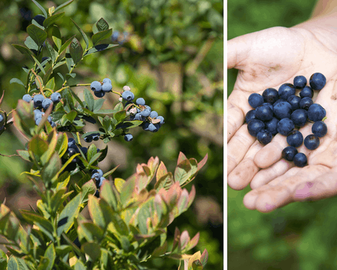 Modern-day blueberry farming began in Michigan in the early 1900s, according to the Michigan Department of Agriculture & Rural Development (MDARD), and today this perennial crop is harvested from more than 20,000 acres. (Photos via Shutterstock)