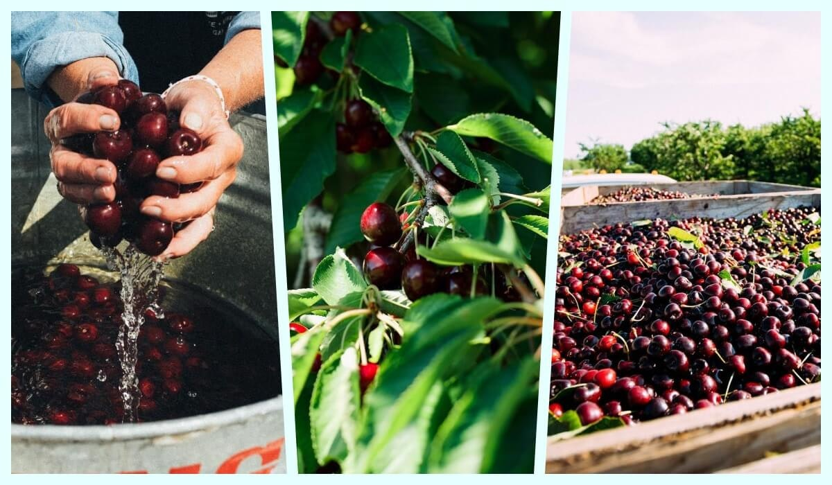 The Michigan cherry industry is just one of many to be impacted by climate change. Photos via Facebook.