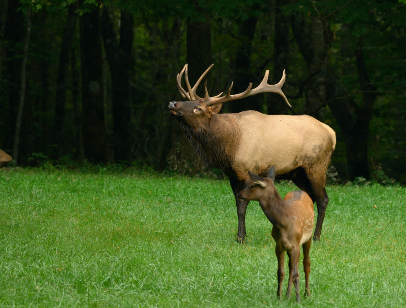 Elks are a sight to see in Michigan.
