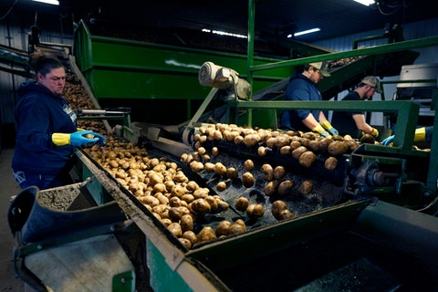 In a March 11, 2021 photo, potatoes are examined along a conveyor belt before being loaded into a tractor trailer at the Sackett Potato farm in Mecosta, Mich. For generations, Brian Sackett's family has farmed potatoes that are made into chips. About 25% of the nation's potato chips get their start in Michigan, which historically has had reliably cool air during September harvest and late spring but now is getting warmer temperatures.