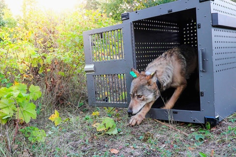 In this Sept. 26, 2018, file photo, provided by the National Park Service, a 4-year-old female gray wolf emerges from her cage as it is released at Isle Royale National Park in Michigan. Wolf pups have been spotted again on Isle Royale, a hopeful sign in the effort to rebuild the predator species' population at the Lake Superior national park, scientists said Monday, July 12, 2021.
