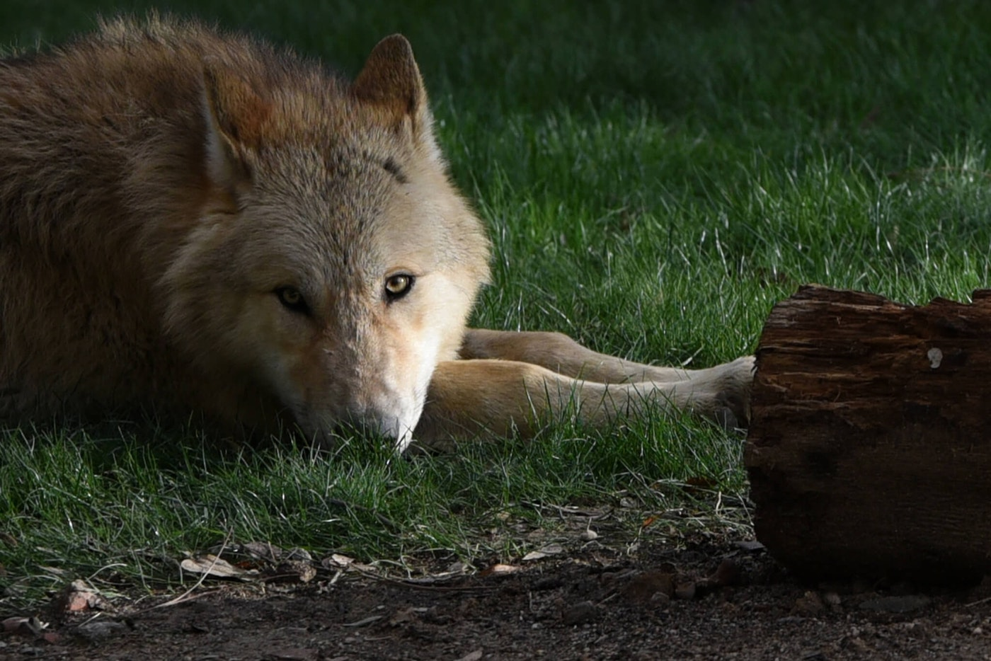 A gray wolf pictured during his first day in his enclosure. The gray wolf or grey wolf, also known as the timber wolf or western wolf, is a canine native to the wilderness and remote areas of Eurasia and North America.